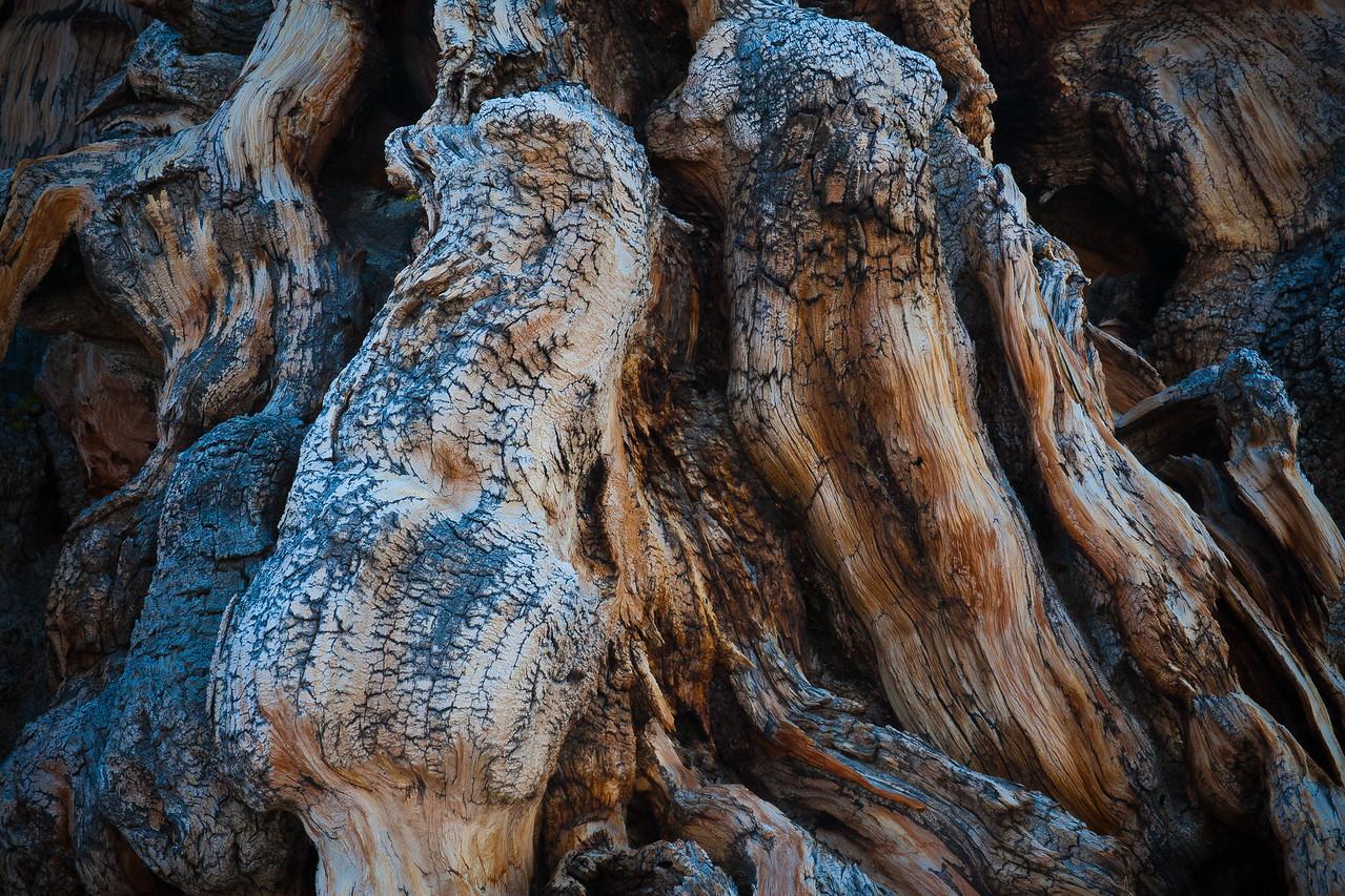 Bristlecone Trunk