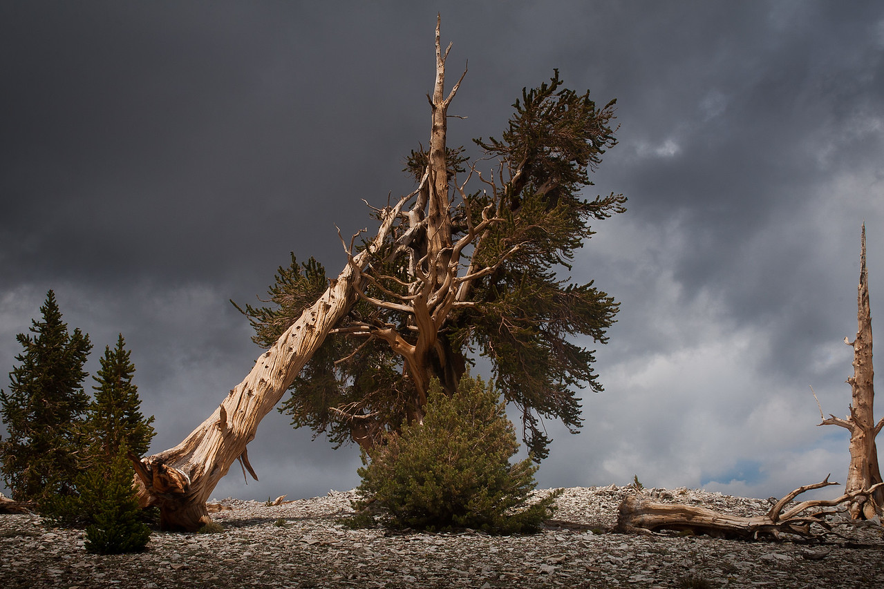 Fallen Bristlecone in the Patriarch Grove