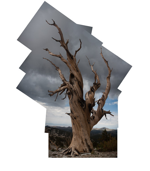 Bristlecone Collage