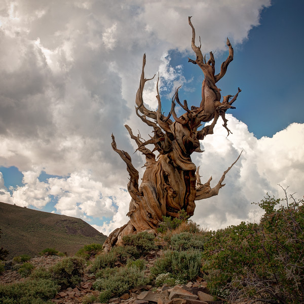 Clouds Over Bristlecone Tree