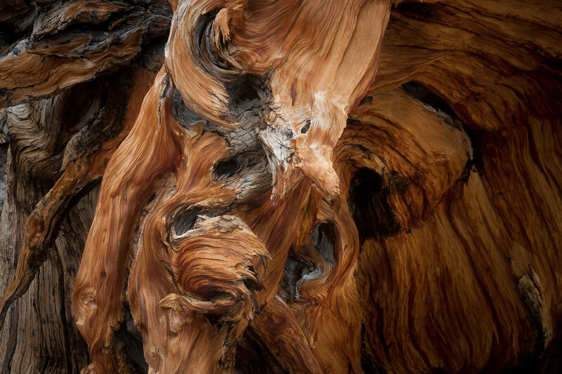 Ancient Bristlecone Roots