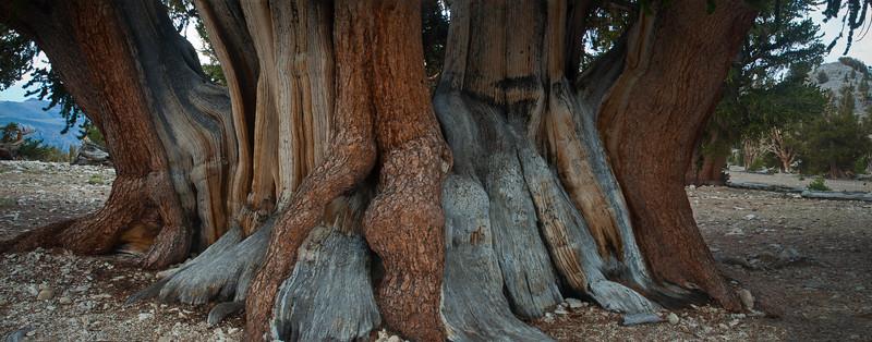 The Patriarch Tree