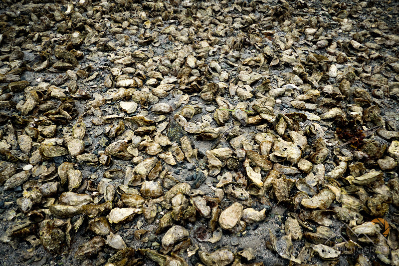 Huge oyster bed at our first campsite on Hand Island.