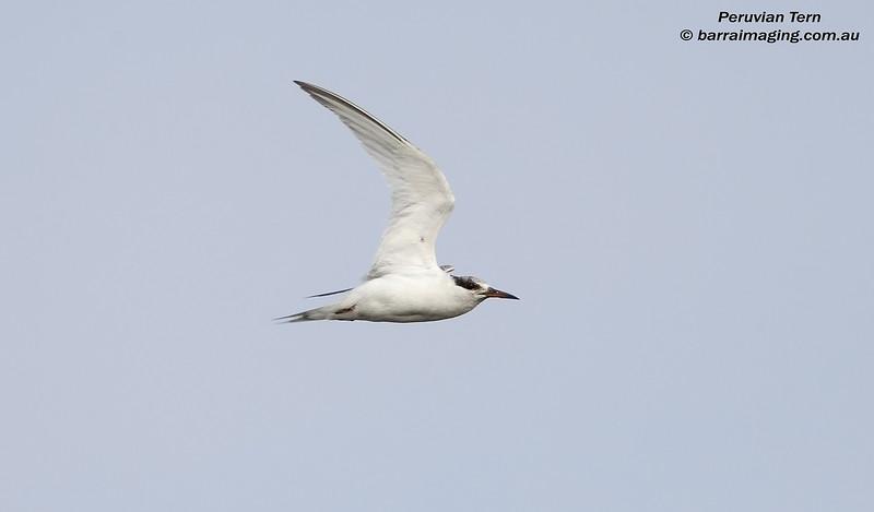 Peruvian Tern