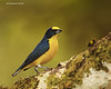 Yellow-throated Euphonia  male