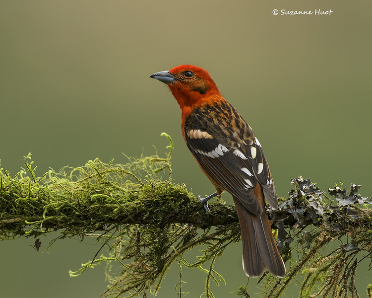 Flame-colored Tanager  male