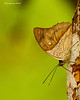 white-spotted Prepona