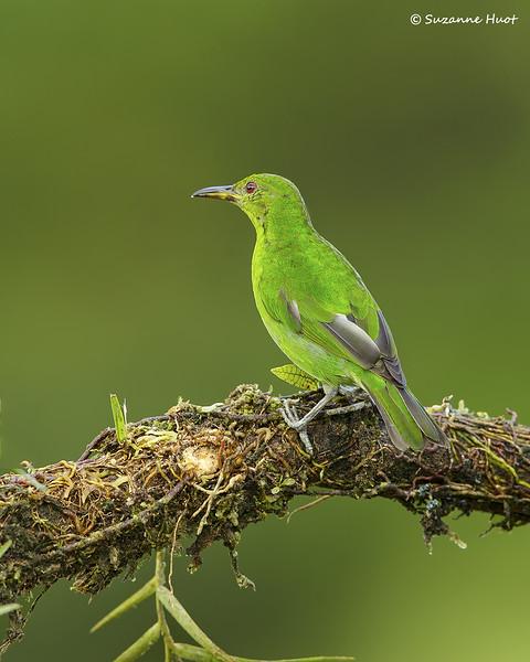 Green honeycreeper . female