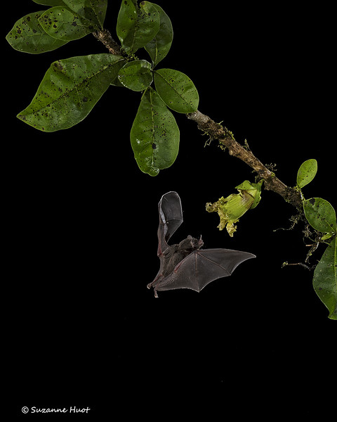 Leaf-nosed nectar feeding Bats