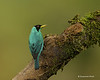Green honeycreeper.  male