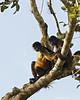 Geoffrey's Squirrel  monkeys