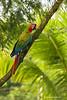 Great Green Macaw  hybrid
