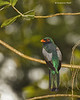 Slaty-tailed Trogon  male
