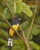 Black-headed Trogon  male
