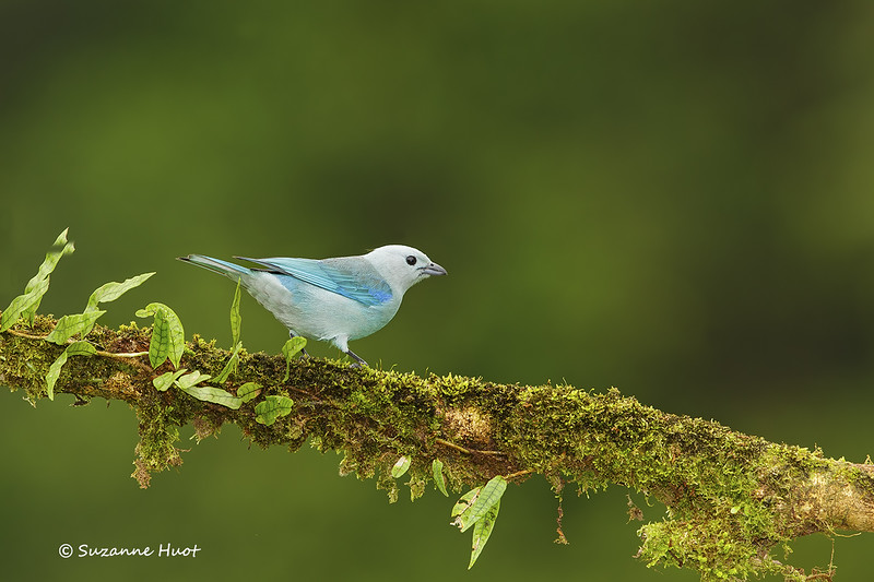 Blue - gray Tanager