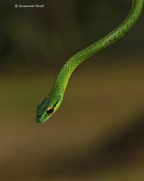 Green Vne  Snake