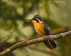 Purple-throated mountain -gem .  female