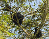 Howler monkey family group