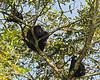 Howler monkey family group