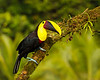 Black -mandibled Toucan