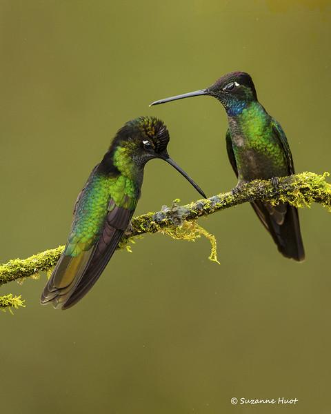 Magnificent Hummingbirds