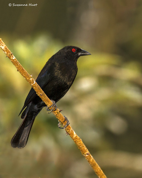 Giant Cowbird  male