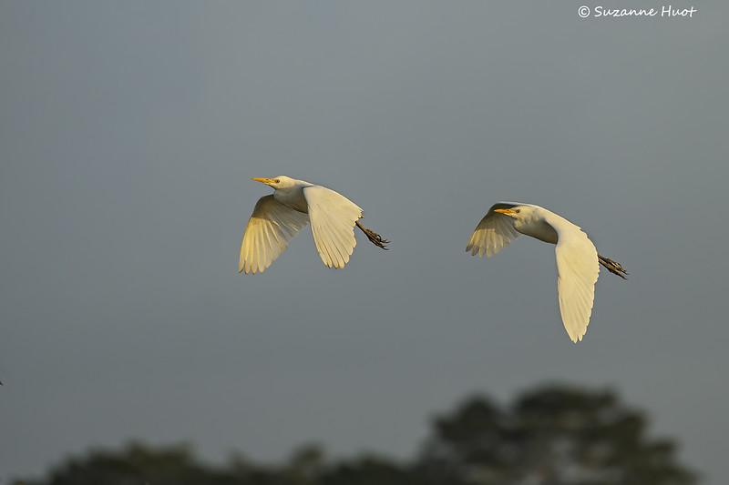 Cattle Egret returning to their roost for the night.