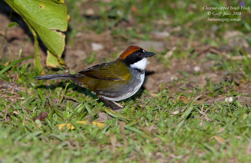 Chestnut-capped Brush Finch Arremon brunneinucha Bosque De Paz Costa Rica March 2008 CR-CCBF-01