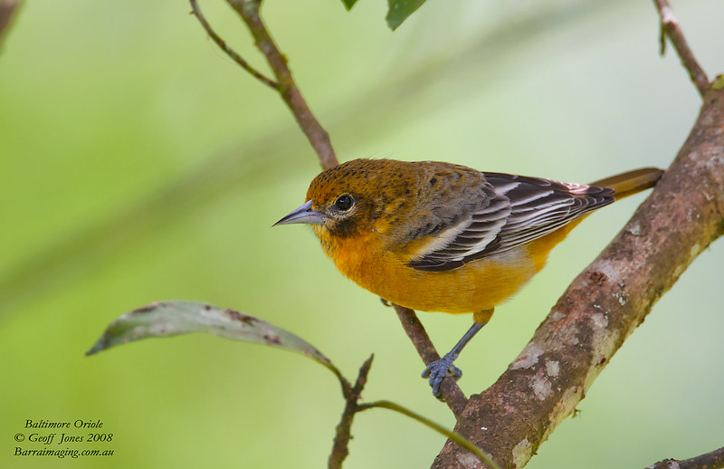 Baltimore Oriole immature