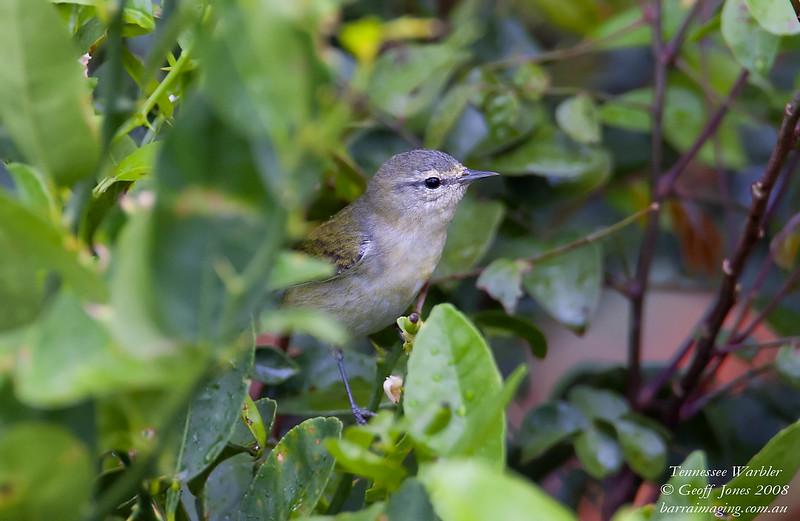 Tennessee Warbler Leiothlypis peregrina Hotel Boganvillia Costa Rica March 2008 CR-TEWA-01