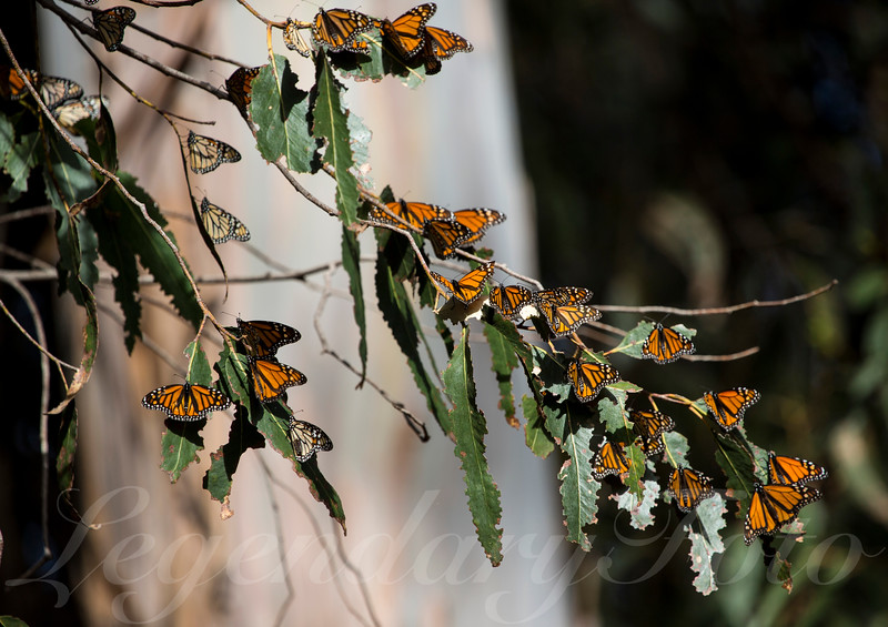 Picture of Monarch butterflies resting on a eucalyptus tree.