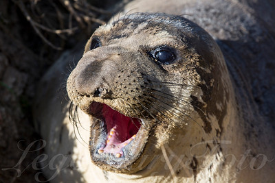 Picture on an elephant seal