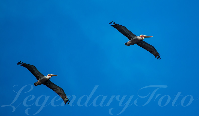 Picture of pelicans in flight