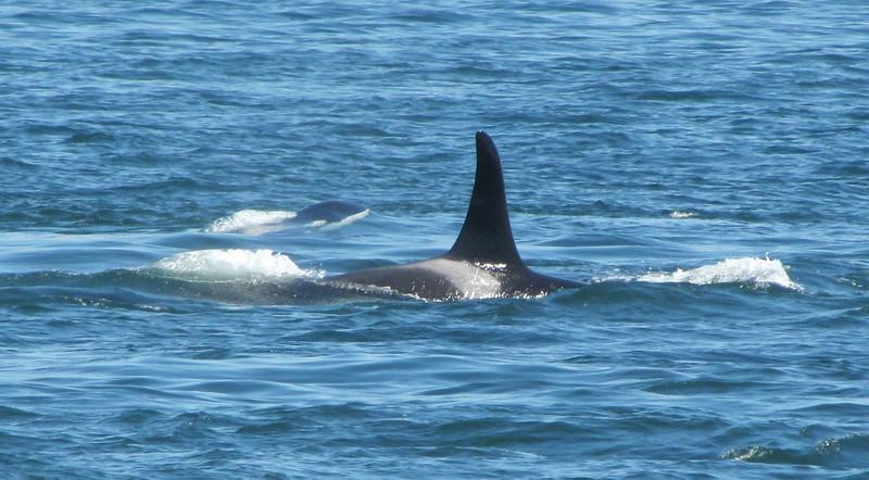 Orcinus orca, Orca or Killer Whale, adult and juvenile (San Juan Archipelago USA-Canadian border)