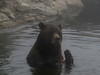 Ursus arctos horribilis, Grizzly Bear (Grouse Mountain near Vancouver, Canada)