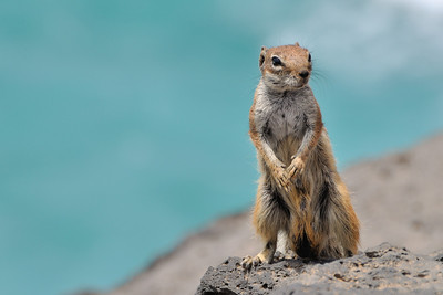 Chipmunk on Fuerteventura, Spain