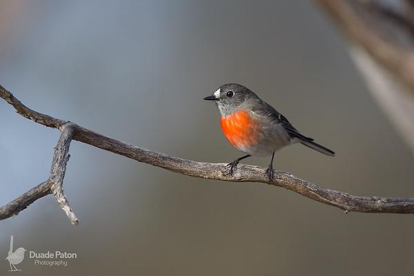 Scarlet Robin - Female