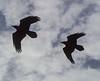Corvus spec