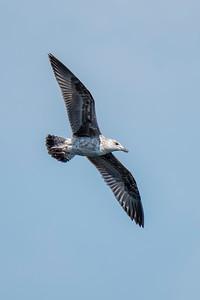 Gull - Herring - juvenile - Fort Lauderdale, FL