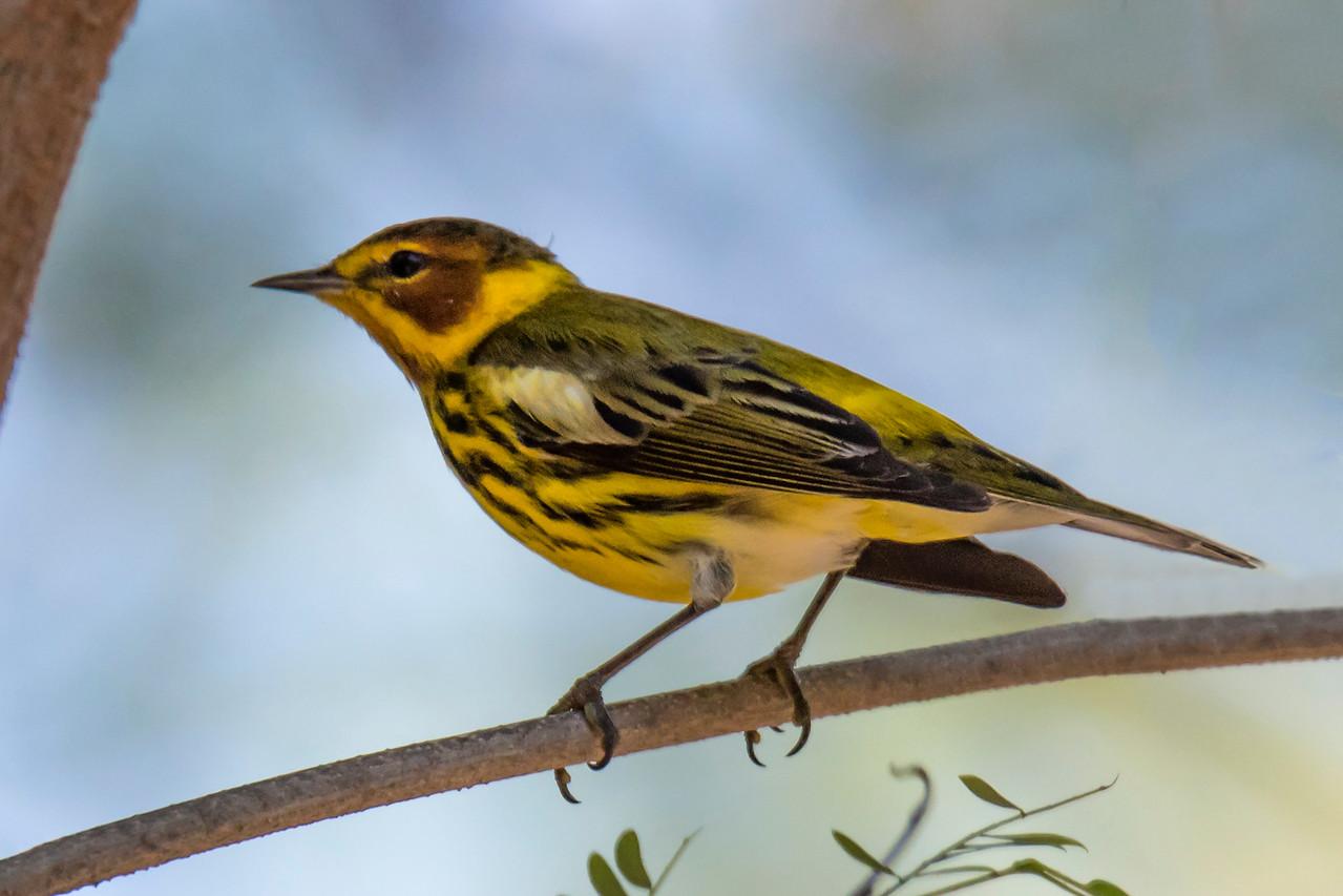 Warbler - Cape May - Labadee, Haiti