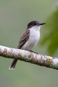 Kingbird -  Loggerhead - 1 - Jamaica