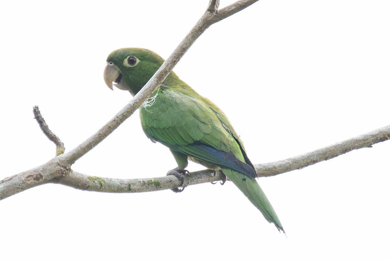 Parakeet - Olive-throated - (now called Jamaican Parakeet) - Jamaica