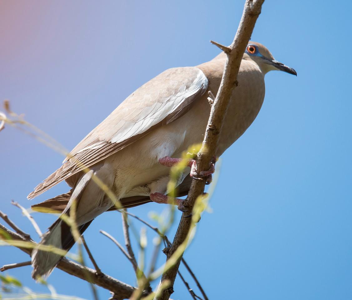 Dove - White-winged - Labadee, Haiti