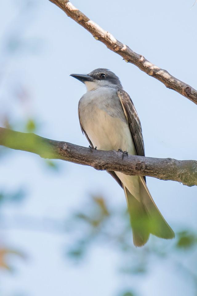 Kingbird - Gray - Labadee, Haiti