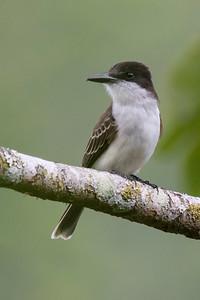 Kingbird -  Loggerhead - 2 - Jamaica