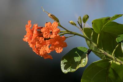 Scarlet Cordia - (Cordia sebestena) - Cozumel, Mexico