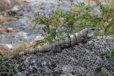 Iguana -  Cozumel, Mexico