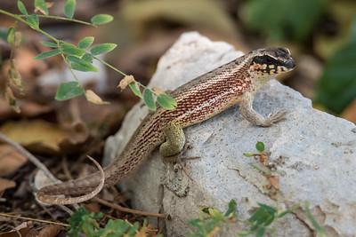 Unidentified Lizard - Labadee, Haiti