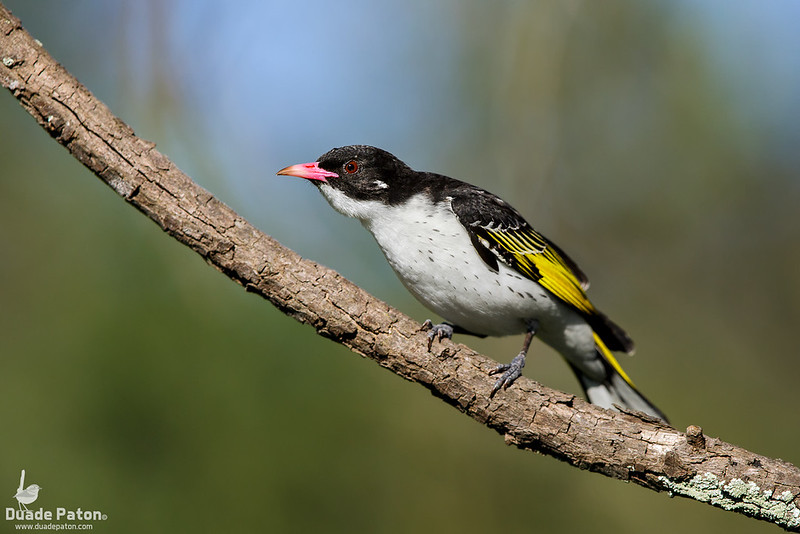 Painted Honeyeater