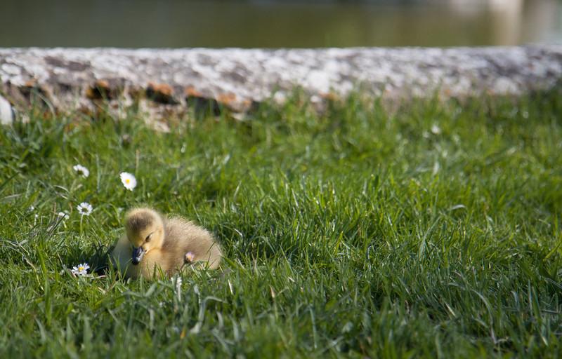A really cute gosling